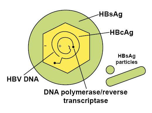 Hepatitis b Virus Structure Function Hepatitis a Virus Structure