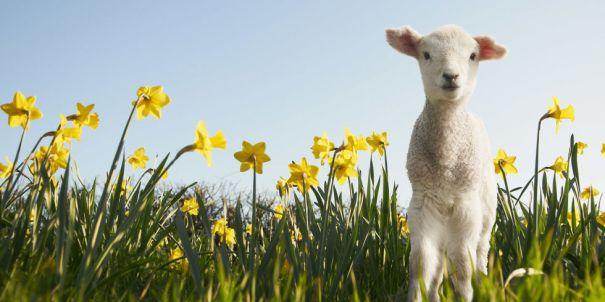 landscape-1457090872-lamb-daffodils-main